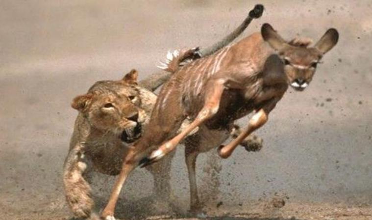 狮子和羚羊